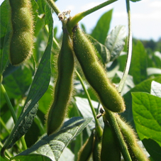 Specialty Soybeans